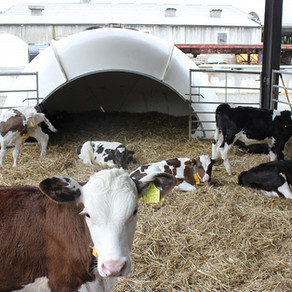 Calf nutrition & accelerated feeding - FAQ and misconceptions