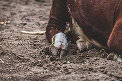 cow-foot.jpg