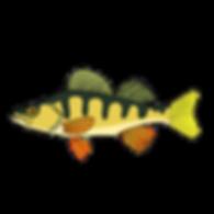 fish perch.png