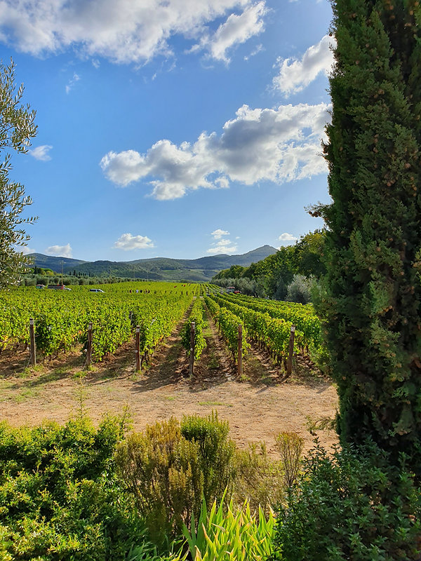 The Ornellaia Estate and the harvestof Merlot Grapes. The Ornellia Vineyards in Fall under the Tuscany Sun.