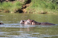 Hippo - Needs WM.JPG