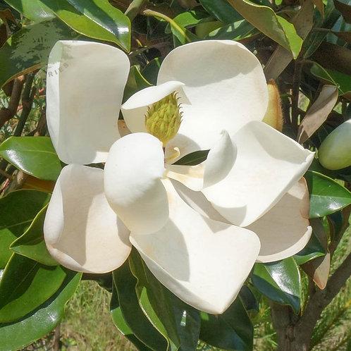 Aceite Esencial de Magnolia