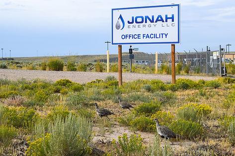 Sage Grouse at Jonah Energy