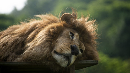 Telepathic Communication with the Lion Barú from the Animal Sanctuary Rancho dos Gnomos - Brazil