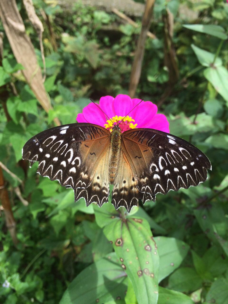 fotoCaption: Red lacewing butterfly (Pic: Nosang M Limboo)