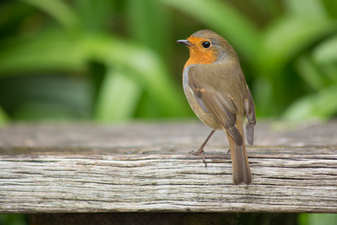 Stylish Robin at the Eden Project.jpg