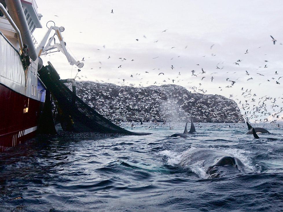 chalut-baleine-orques.jpg