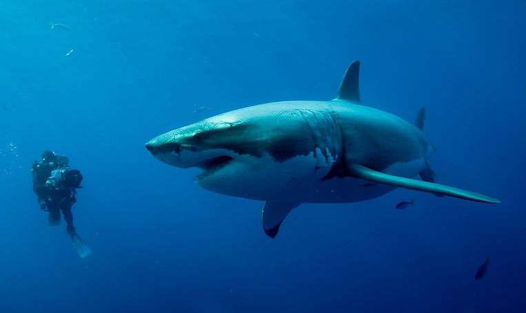 Didier-et-grand-requin-blanc2.jpg