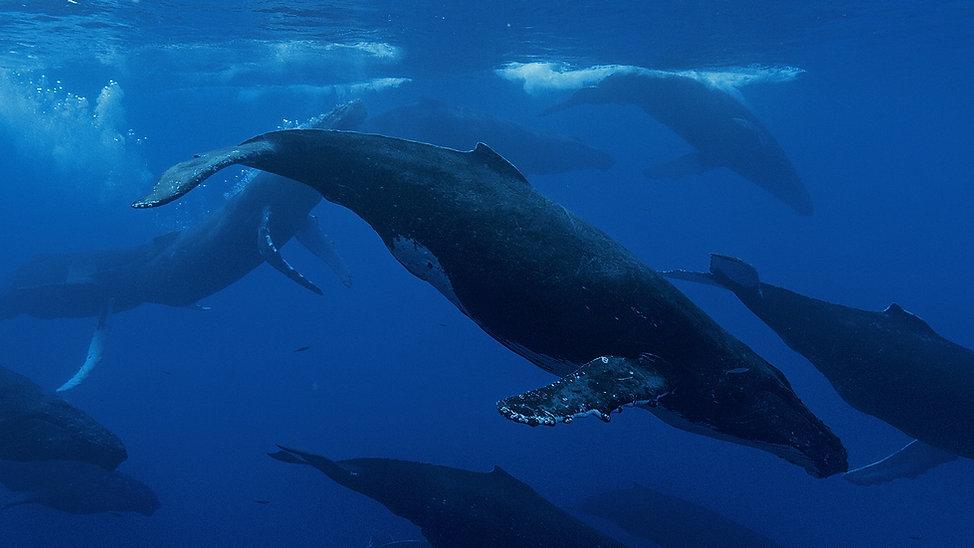 Baleines-Hawaii.jpg