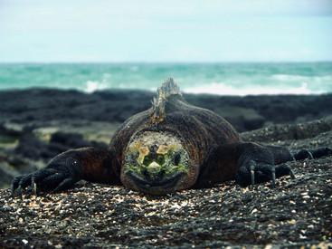 Meerechse in Galapagos, Ecuador