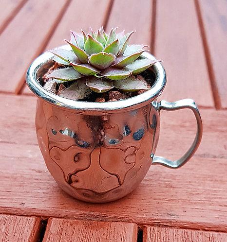 Sempervivum In A Mini Moscow Mule Mug