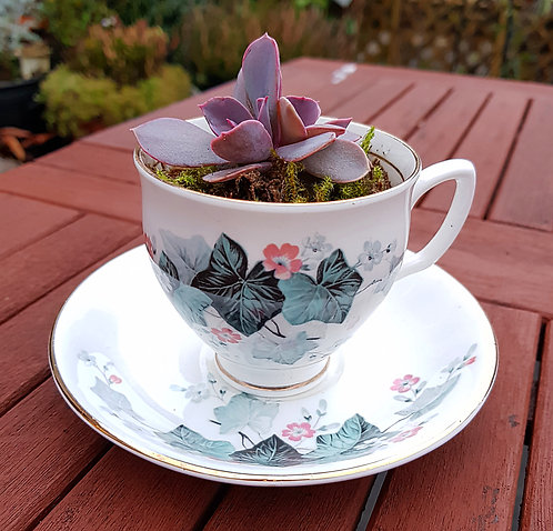 Succulent In a Teacup