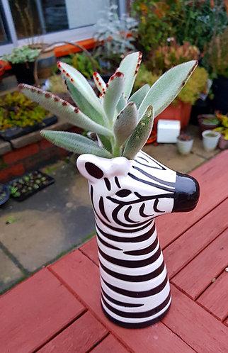 Succulent In A Zebra Planter