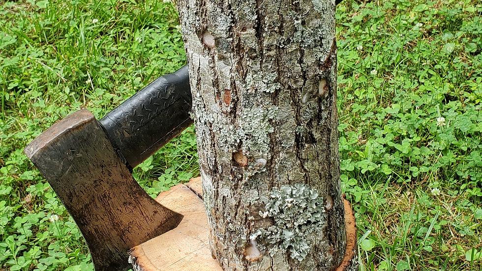 MEDIUM Hardwood Shiitake Log