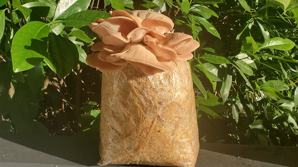 5lbs Pink Oyster Straw Block