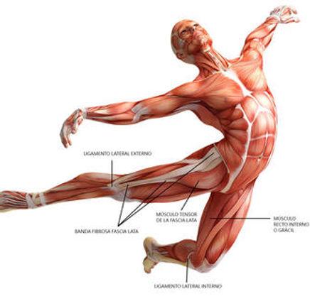Lilia-anatomia_fascia_lata_musculo_r.jpg