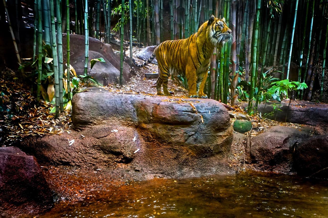 Tiger - Atlanta Zoo