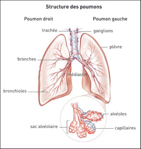 STRUCTURE DES POUMONS - OSTEOPATHIE - CORPS EN MAIN