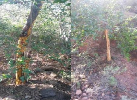 Illegal Harvesting of Endangered Traditional Medicinal Plant in Brackenridge Nature Reserve, SA
