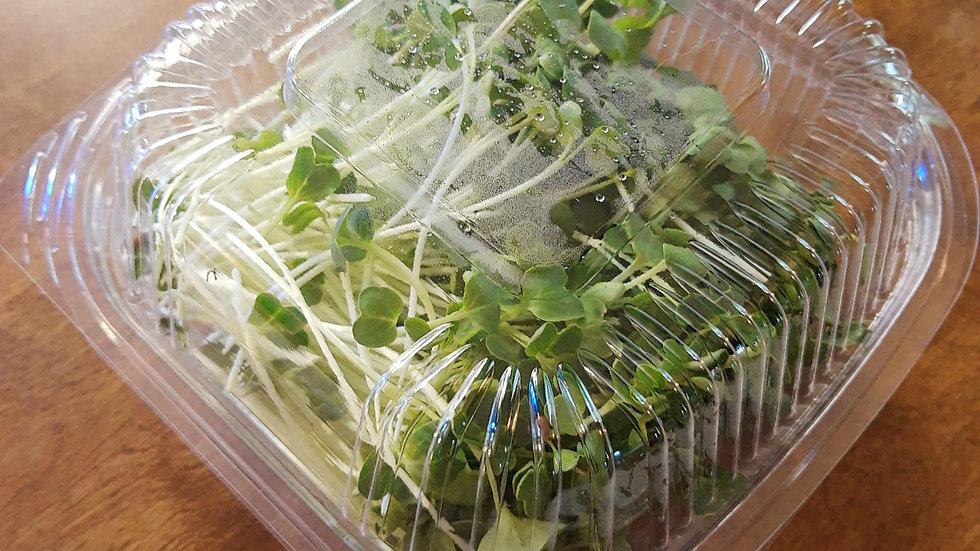 Daikon Radish Microgreens