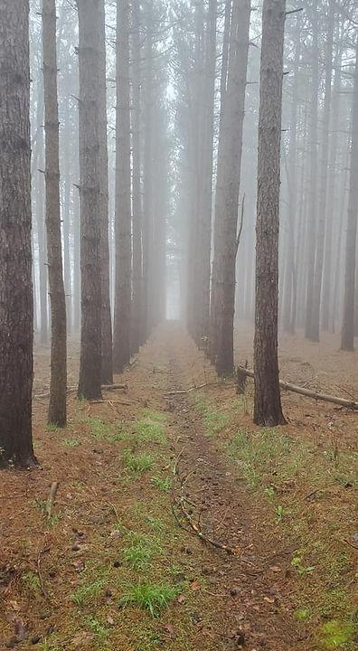 BB-pines.jpg