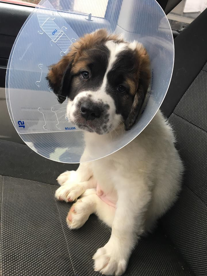 rescue st bernard puppy