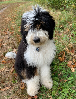 All about Bernedoodles!