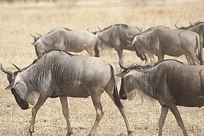 wildebeest-1510901_1280.jpg