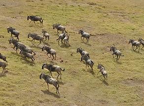 wildebeest-migration-3995945_1280.jpg