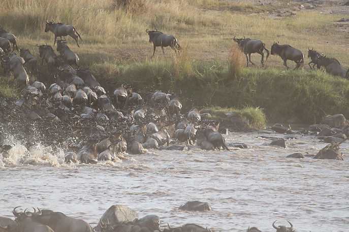 wildebeest-migration-2322111_1280.jpg