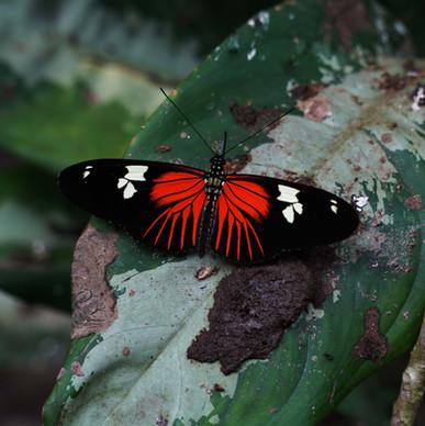 Pralesní motýl