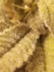 sugarleaf trichomes.jpg
