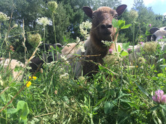 Sheep_at_Underhill_Peekaboo.JPG