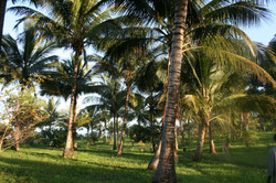 Coconut swinging in the wind