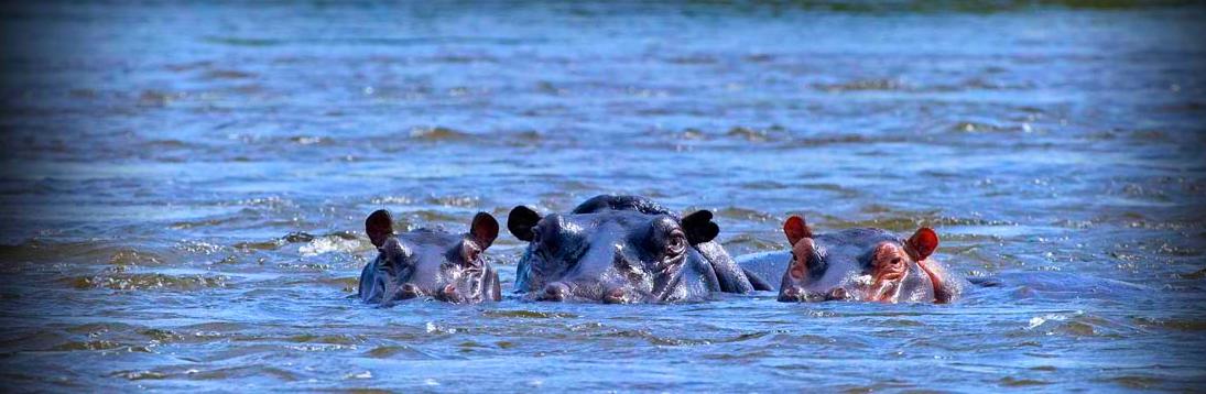 Hippos in Saadani park