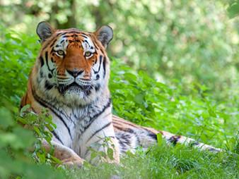 """""""Sibirischer Tiger"""" gewinnt Foto-Wettbewerb"""