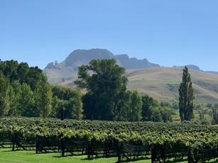 Te Mata Peak & vines from marquee lawn