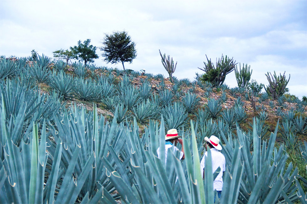 Mezcaleros amongst agave in the Oazacan Highlands
