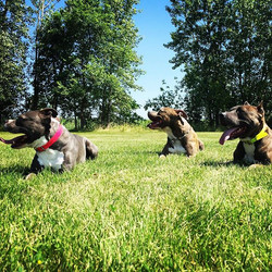 Instagram - It was so hot they refused to look at the camera! 🔥🐾☀️😀 #pack #Pitbull  #greenbaydogt