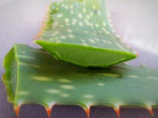 Aloe vera gel VS Pseudomonas farmacoresistente. Ecco i risultati di un recente studio.