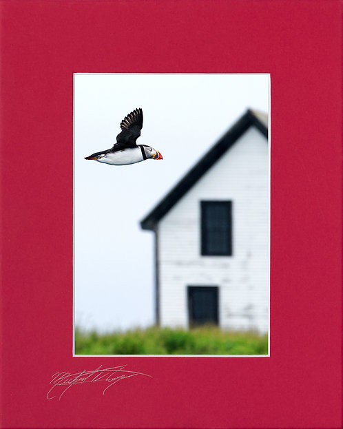 Atlantic puffin, 5x7 Print matted to 8x10, choice of mat colors