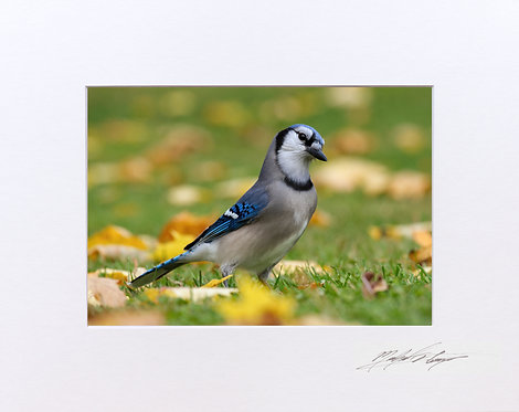 Blue Jay, 5x7 Print matted to 8x10