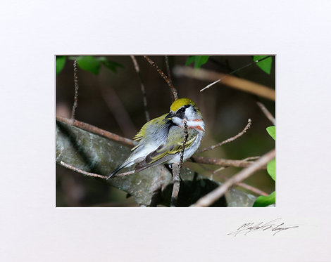 Chestnut - sided Warbler, 5x7 Print matted to 8x10