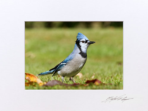 A Blue Jay, taken in Milo, Maine, 5x7 Print matted to 8x10