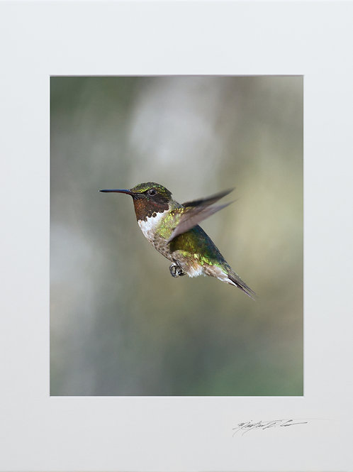 A male Ruby Throated Hummingbird, 5x7 Print matted to 8x10