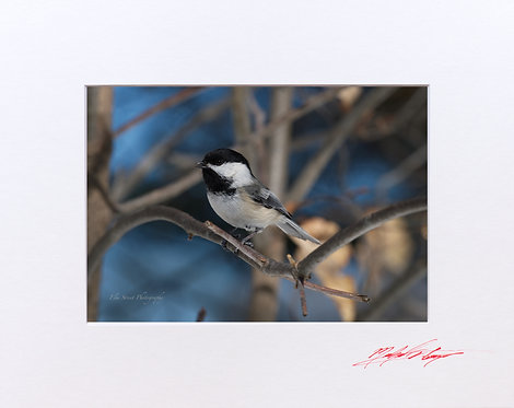 Black Capped Chickadee. 5x7 Print matted to 8x10