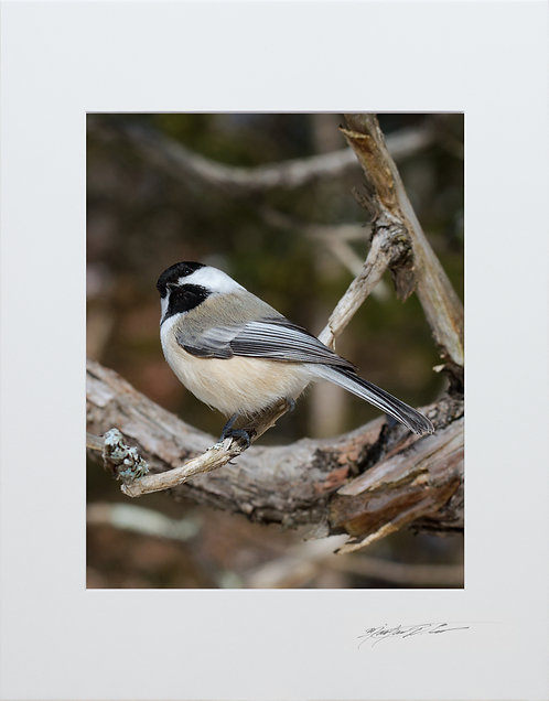 Black Capped Chickadee, 5x7 Print matted to 8x10