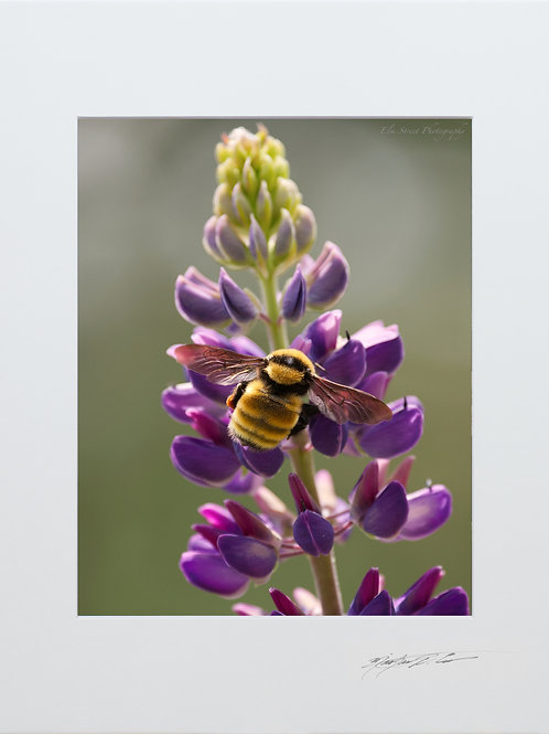 Bumblebee on Lupine, 5x7 Print matted to 8x10