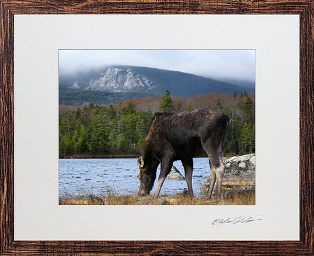 Matted and framed Moose, taken in Baxter State Park, Maine
