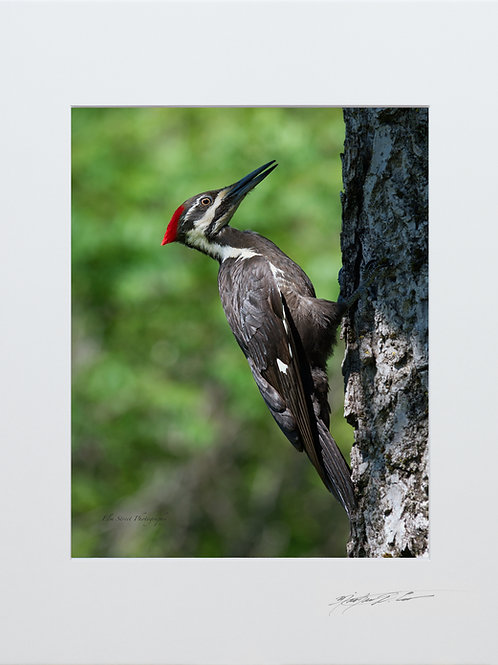 Pileated Woodpecker, taken in Milo, Maine, 5x7 Print matted to 8x10